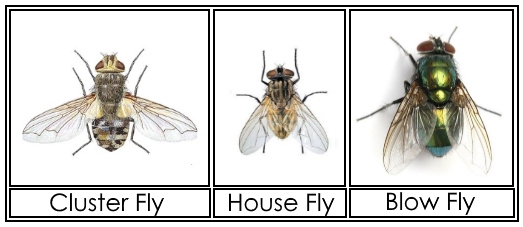 Cluster Flies Information Images How To Get Rid Of Them